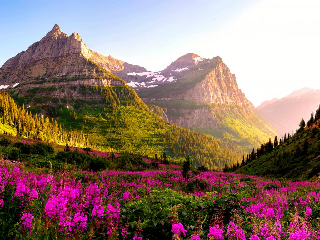 A meadow with blooming purple flowers and a close view of the mountain lit by the first light in Glacier National Park.