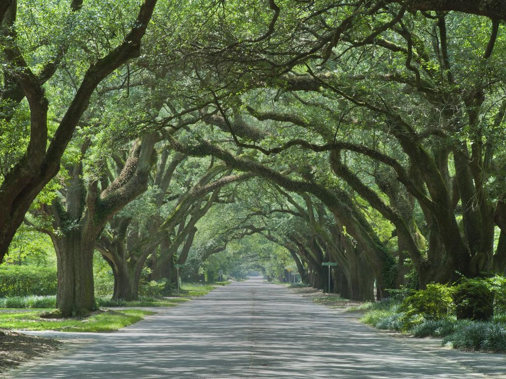A scenic view of giant live Oaks covering like a tunnel in the empty road of Aiken, South Carolina in a good weather