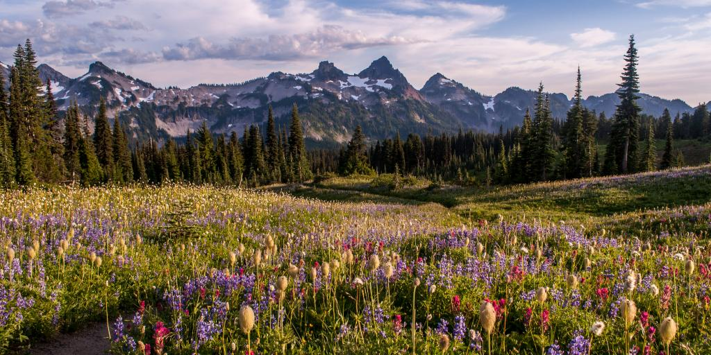 Colourful wildflowers dot a hiking path in Mt Rainier National Park, with peaks in the background