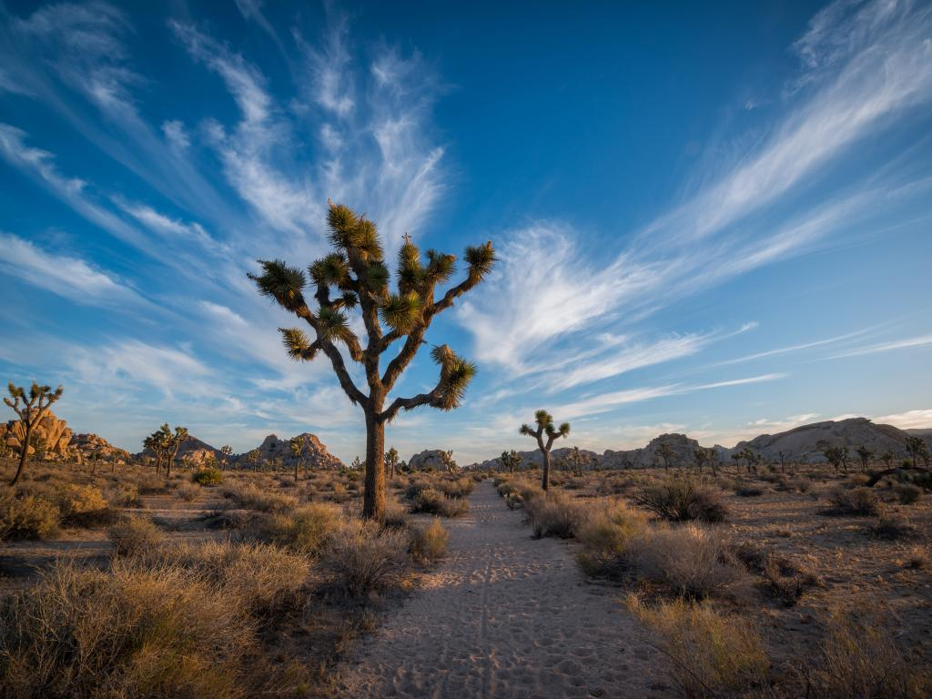 A trail through the desert with Joshua trees in Joshua Tree National Park, California.