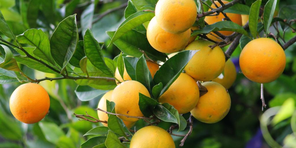 Lemons growing on a lemon tree in Positano, Italy
