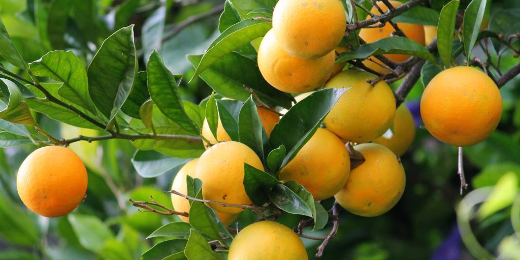 Lemons growing on a lemon tree in Positano, Italy