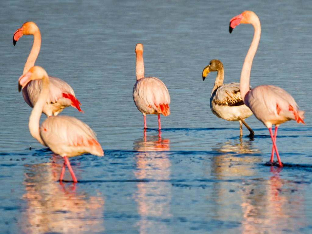 Flamingos in Delta de Ebro natural park, Tarragona, Catalonia, Spain