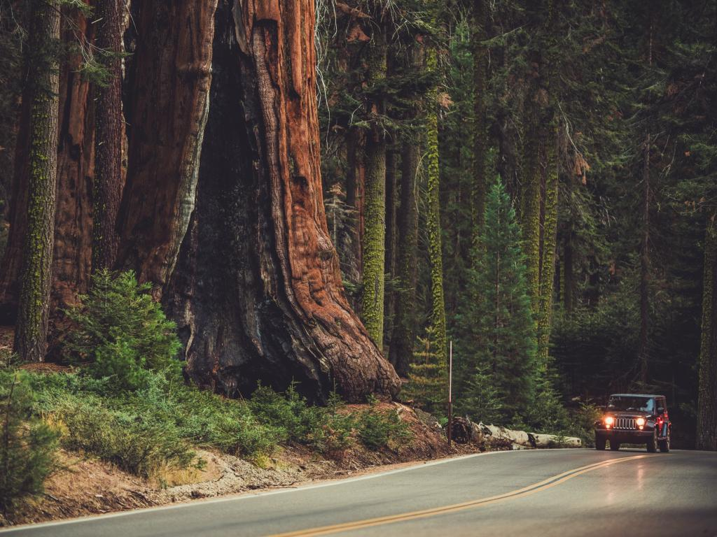 A giant Sequoia tree and a car driving along Sequoia National Park.
