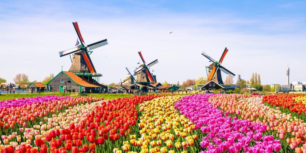 Rows of pink, orange, red and yellow tulips in a field with three windmills in the background, on a sunny day