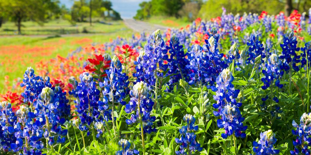 Bluebonnets in Texas Hill Country with a road in the background