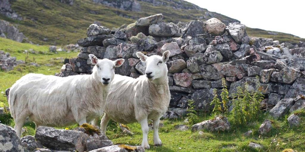 Two sheep stood in front of the ruins of a building at Ceannabeinne in Scotland