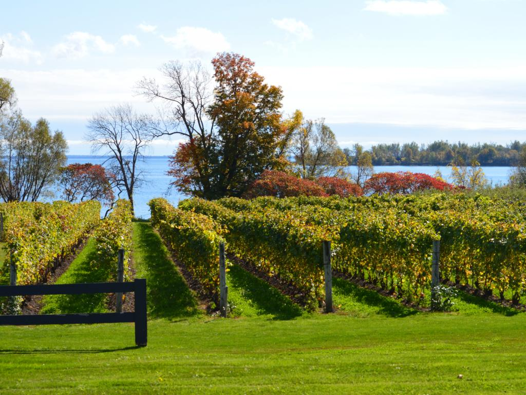 A vineyard in Prince Edward County overlooking Lake Ontario.