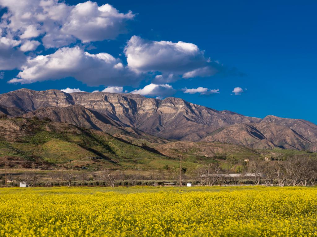 Ojai California, field of Yellow mustard and Topa Topa Mountains