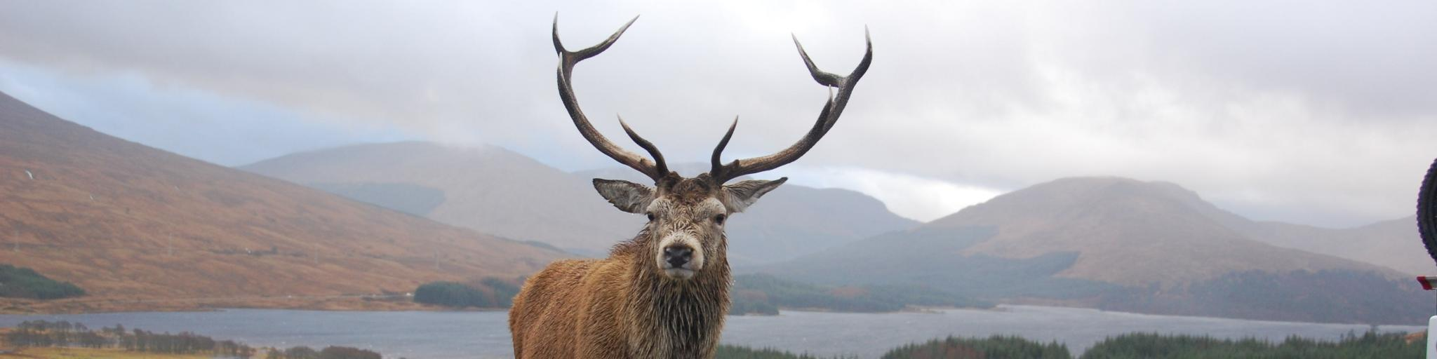 A stag stood in the middle of the road in Scotland, on a drizzly day