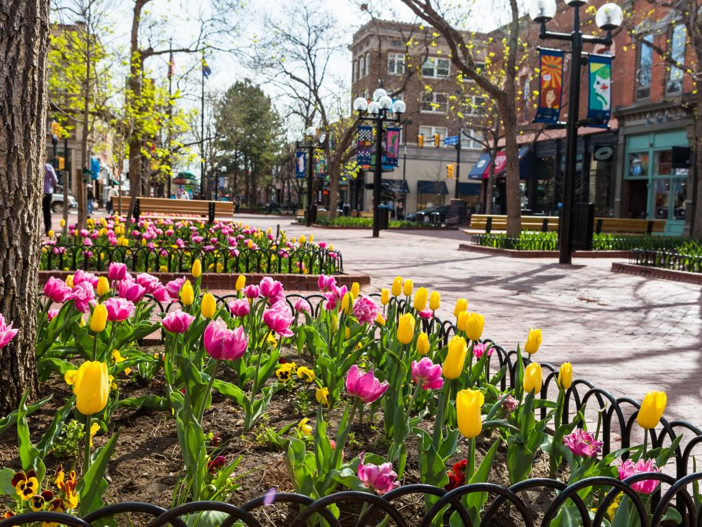 Tulips blooming in April along the Pearl Street Mall in Denver, Colorado