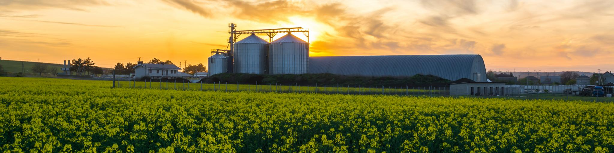 Yellow wildflowers and a couple of farm silos are illuminated in the sunset