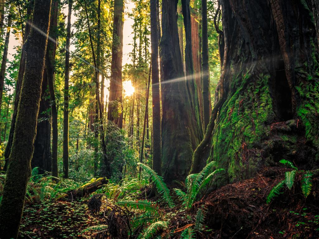 Sunrise through redwood trees in the Redwood National & State Parks in northern California.