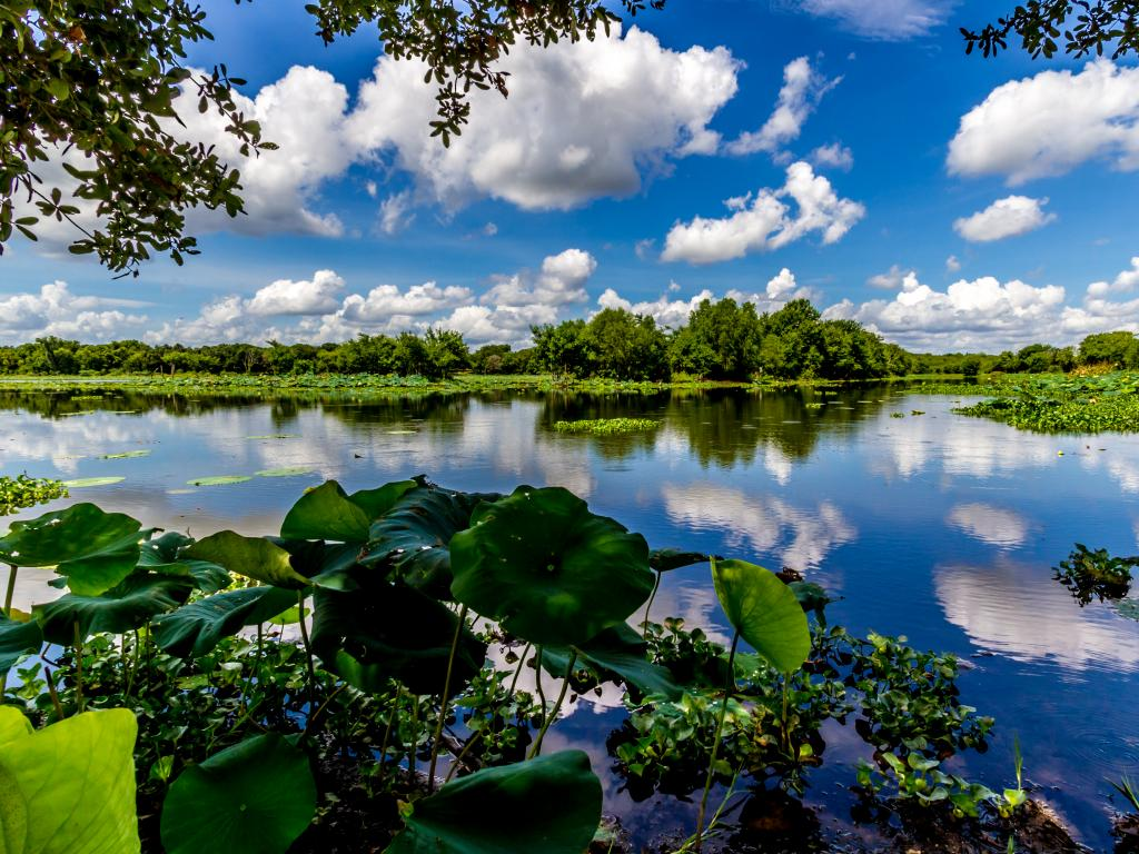 A lake with yellow lillies in the Brazos Bend State Park on a perfect summer day