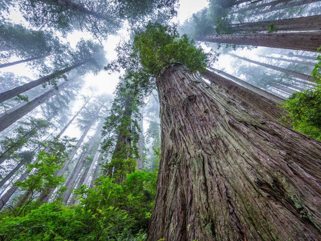 Tall redwood sequoia trees stretching into the sky in the Redwood National Park, California