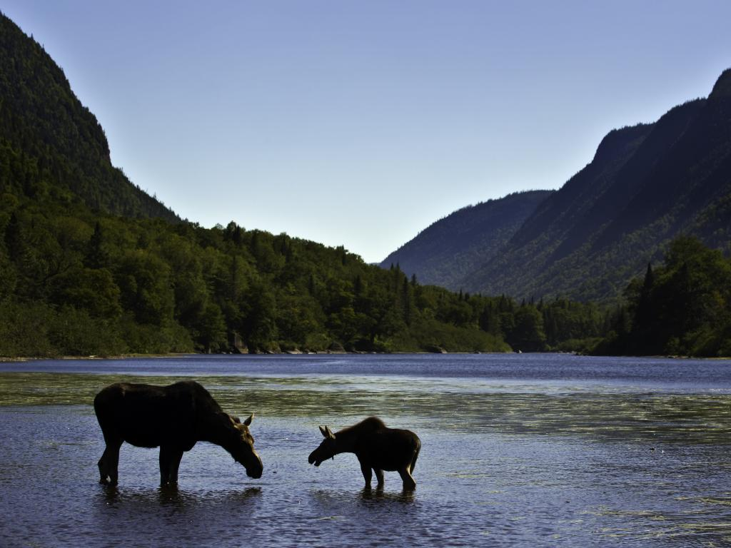 A moose and calf wading in a lake in the Jacques Cartier National Park with mountains in the background.