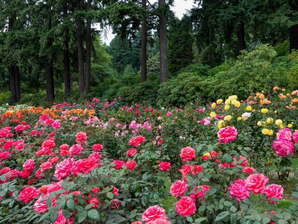 Rose bloom in Portland's International Rose Test Garden in Washington Park
