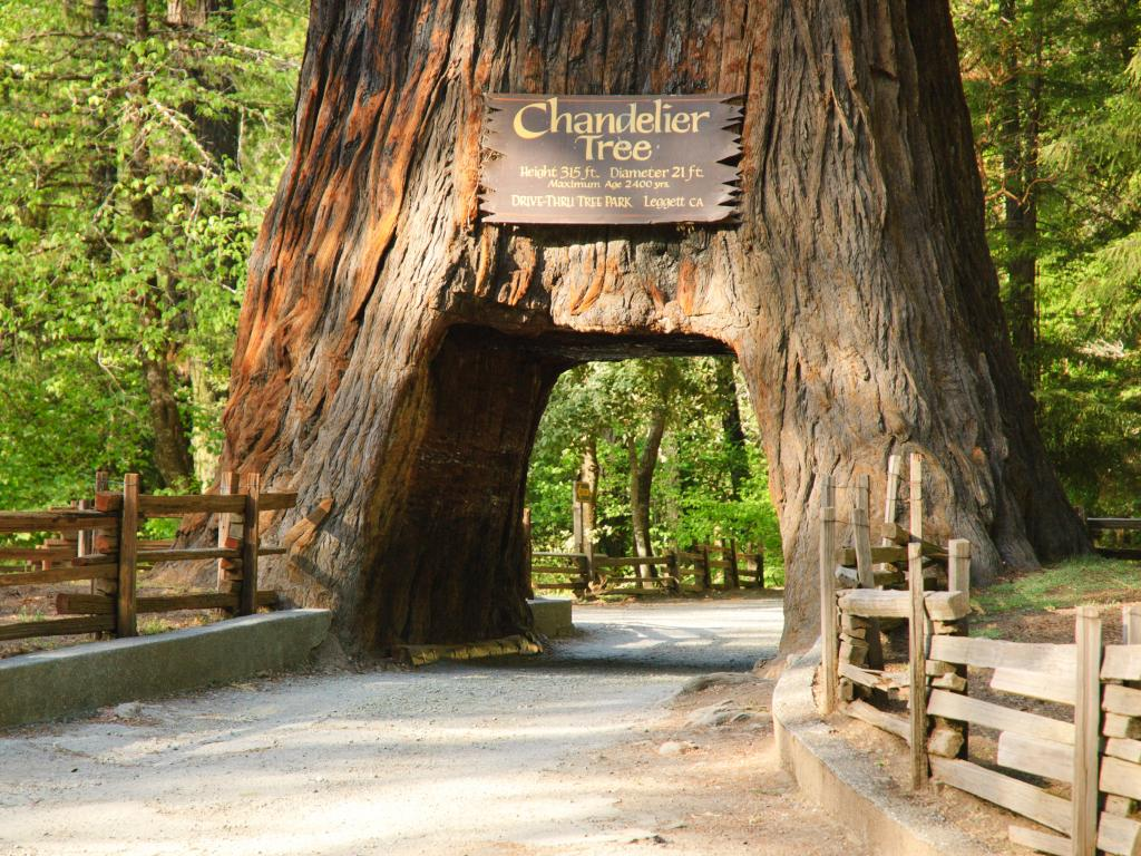 The drive through Chandelier Tree in Leggett, California