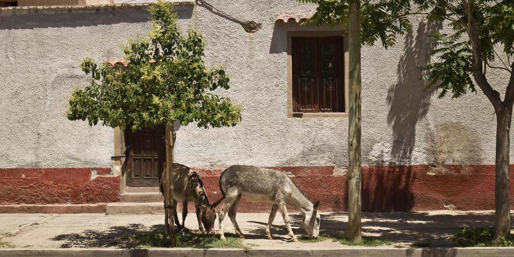 Donkeys grazing on grass in street of Cafayate, Argentina