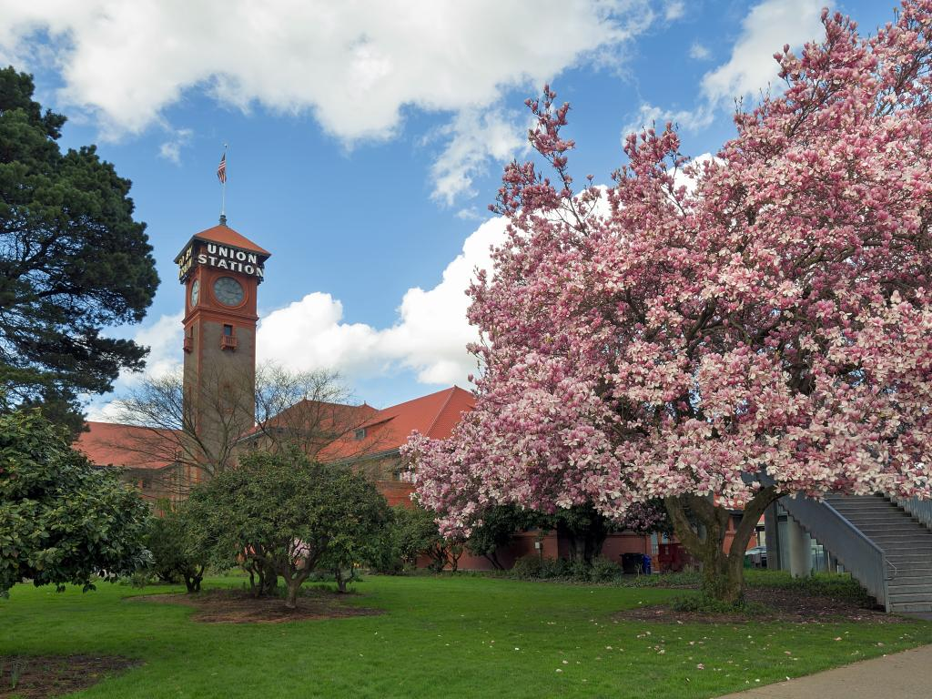 Magnolia tree blossoms in spring at Portland's Union Station