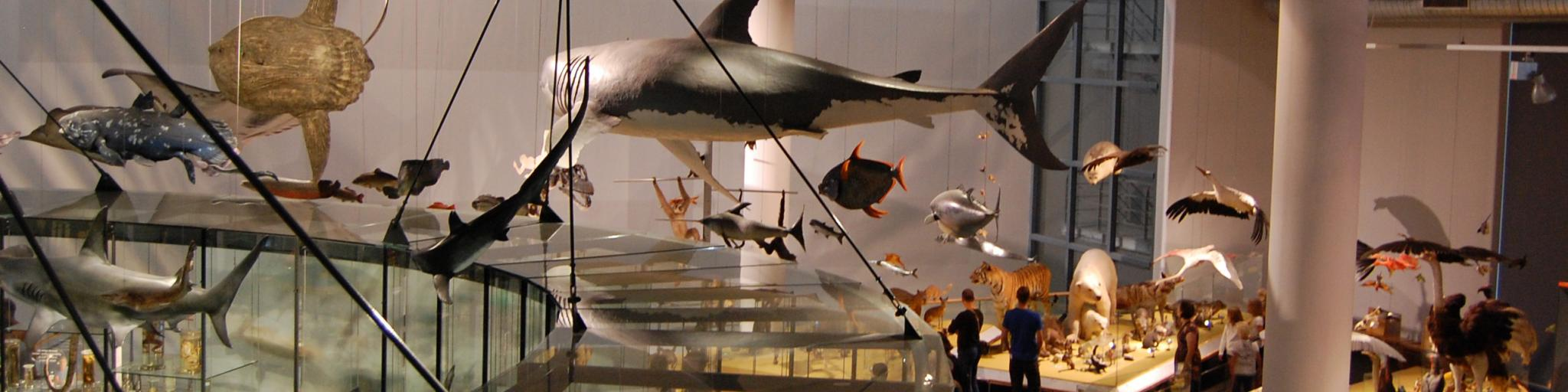 Models of sharks, whales, birds and other wildlife on display in the Naturalis Museum