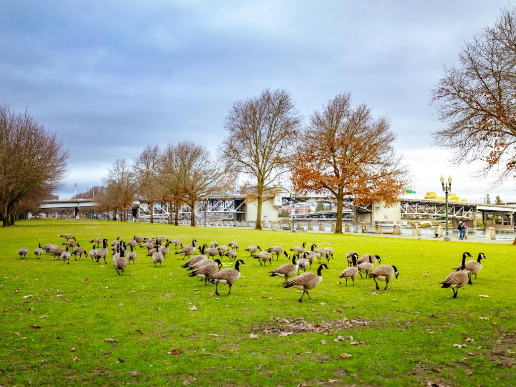 A flock of geese basking under the sun on a cloudy, sunny day at Tom McCall Waterfront Park in Portland, Oregon