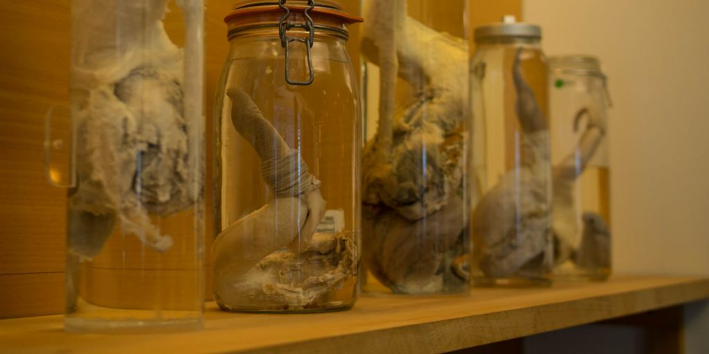Mammal penises on display at the Icelandic Phallological Museum