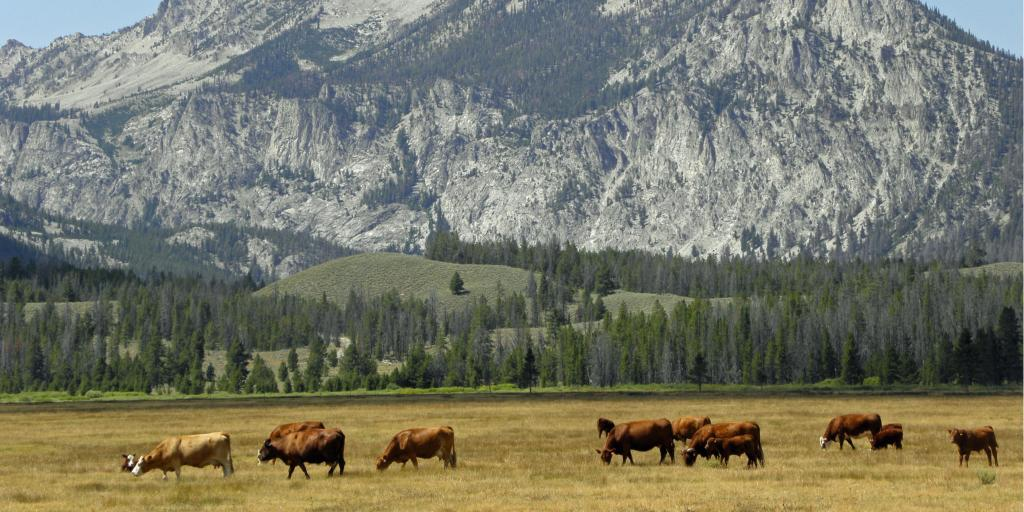 Cattle grazing near Ketchum, Idaho, with mountains in the background
