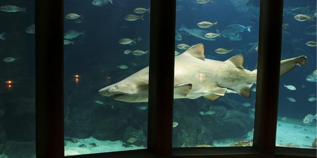 A shark swims by a glass window in the Aquarium Finisterrae in La Coruña, Spain