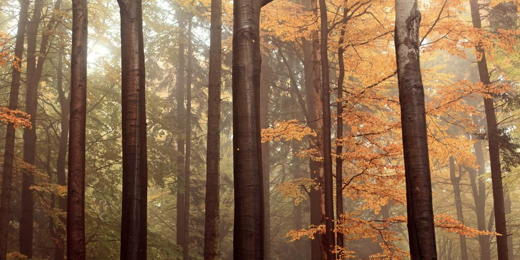 Tall thin trees covered in orange autumn leaves in a forest in the Czech Republic