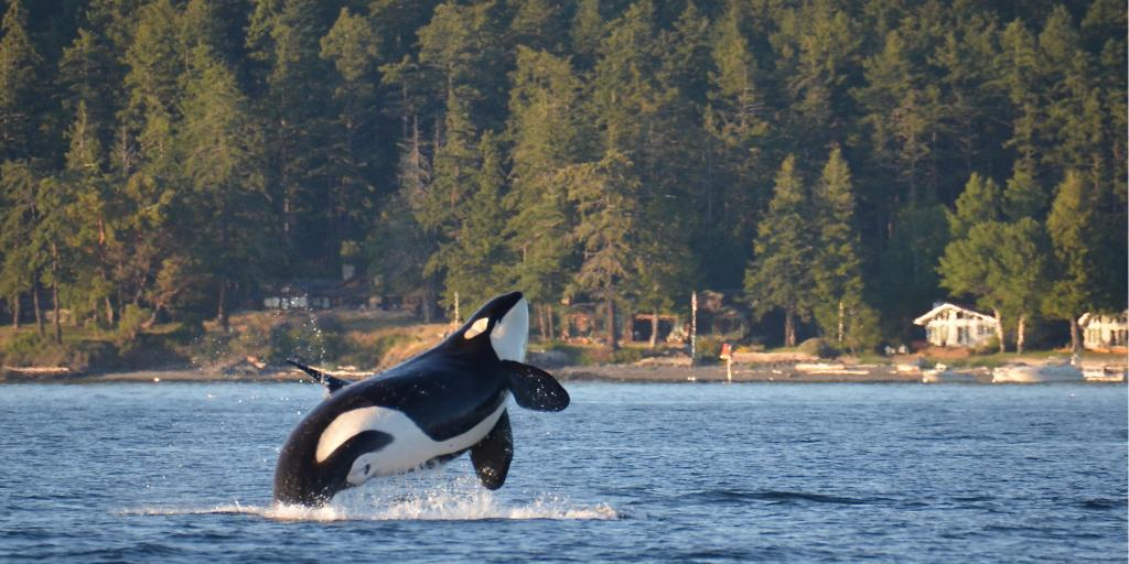 Orca whale breaches from the water in San Juan Islands, Washington State
