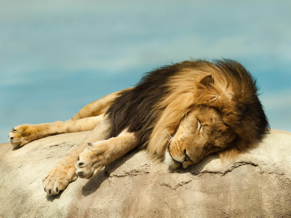 Lion asleep on a rock at the Dallas Zoo, Texas