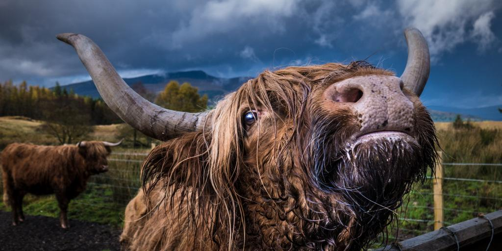 A close up of a brown highland cow with big curved horns looking upwards, with another cow in the background
