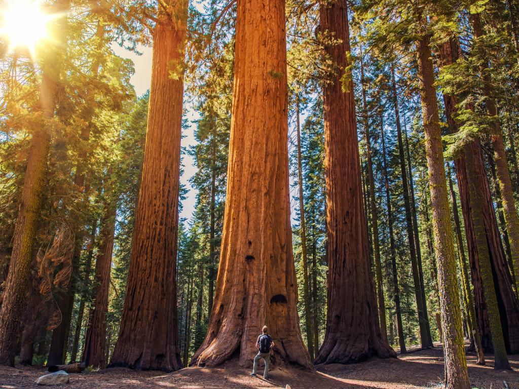 A man standing in a forest of giant sequoias in the Sequoia National Park, California