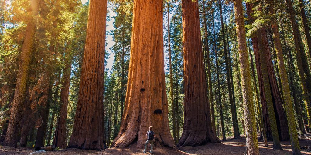 A man looks up at a giant tree in Redwood Forest