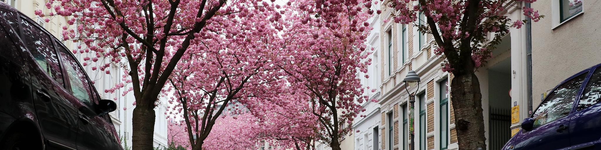 Bright pink cherry blossoms line a street in Bonn, Germany
