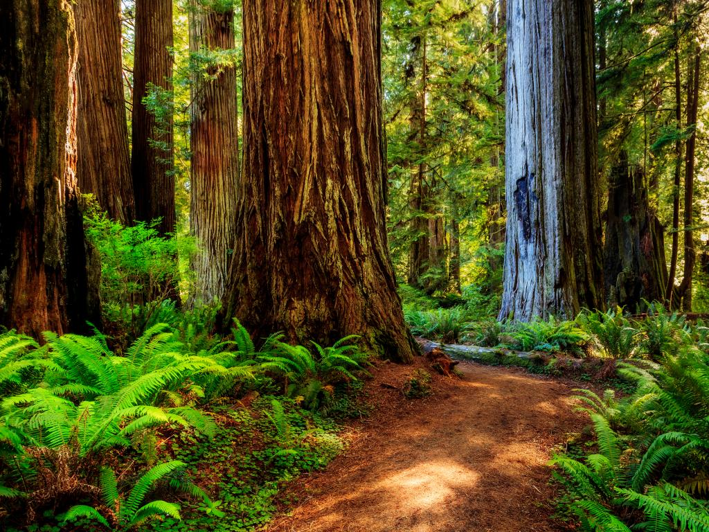 A path winding through giant trees in the Redwood National Park, California