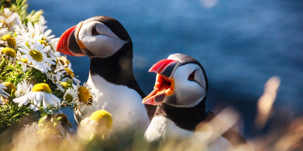 Two puffins sat in a hedgerow in Iceland, surrounded by flowers