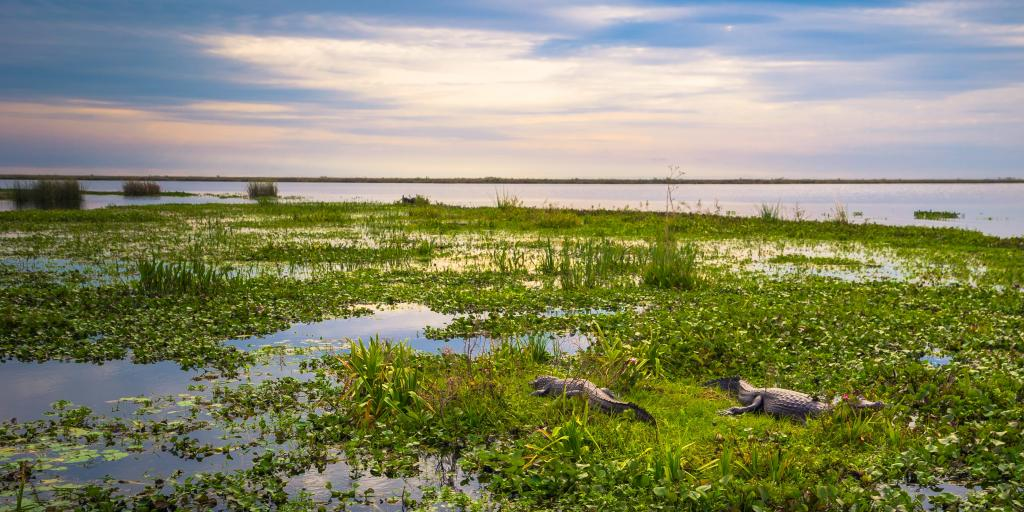Dark alligators in the marsh at the Provincial Ibera park in Colonia Carlos Pellegrini, Argentina