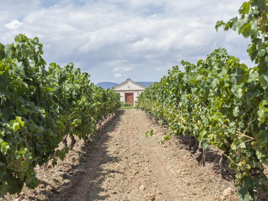 Vineyard in the Penedes wine region, Catalonia, Spain