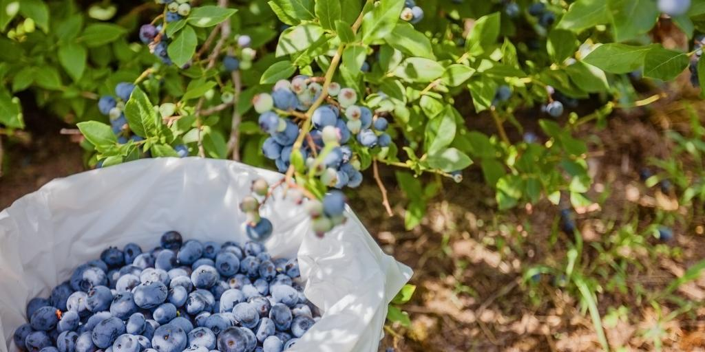 A bucket of blueberries next to a blueberry plant in Quebec