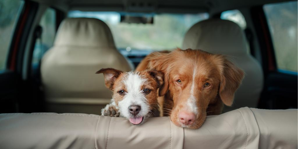 Two happy dogs look out from the back seat of a car