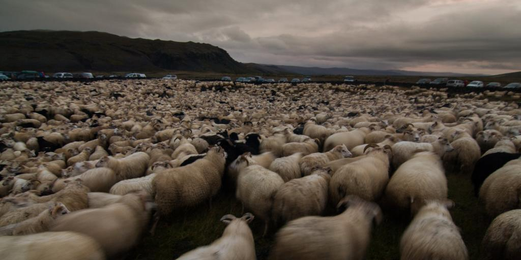 Thousands of sheep on a moody day during Rettir, Iceland