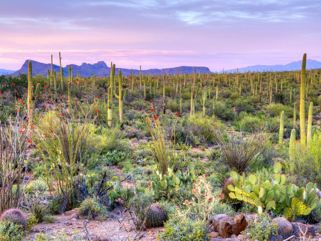 Sunset in Saguaro National Park just outside Tucson, Arizona.