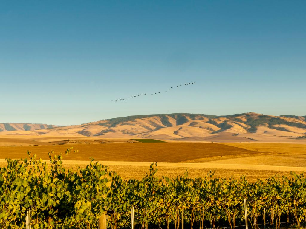 A flock of birds flow over a vineyard in Walla Walla, Washington, with the Blue Mountains in the background