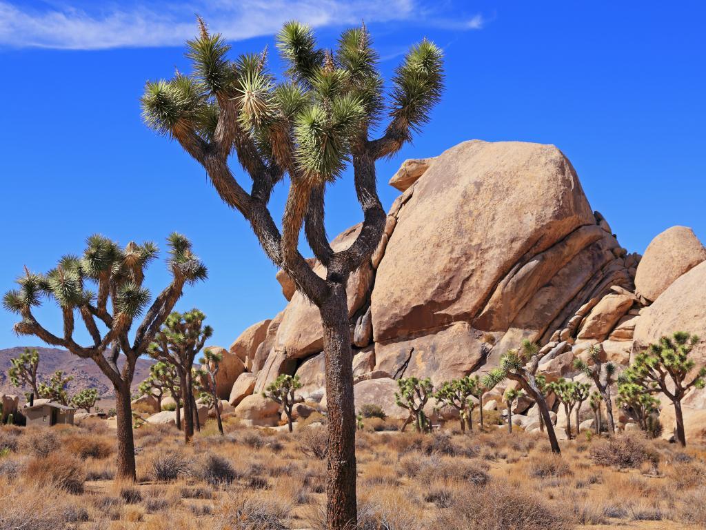 Joshua trees and granite boulders in the Joshua Tree National Park, California
