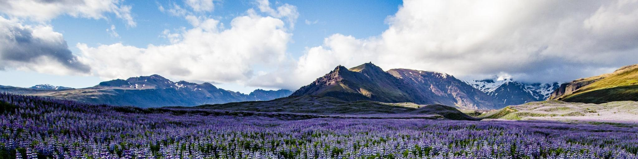 Flowering purple lupine field in front of Vatnajökull National Park mountains in Iceland