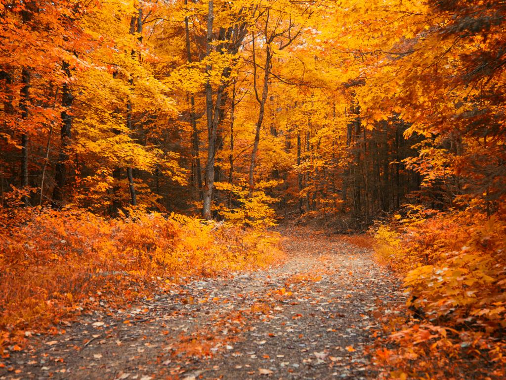 A road  through a gold forest in the fall in Muskoka, Ontario, Canada
