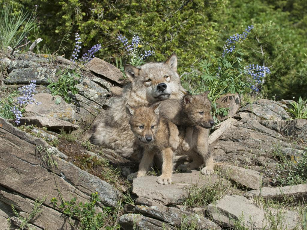 Timber wolf and cubs at den site in Colorado