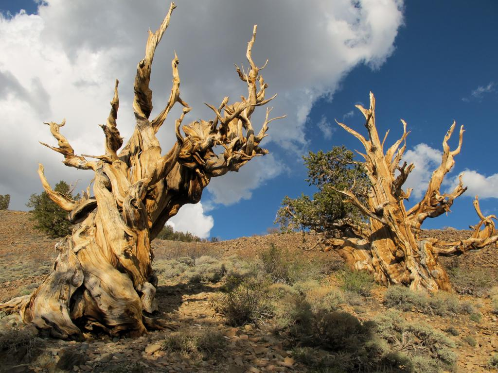 Ancient bristlecone pine trees growing in a forest near Bishop, California.